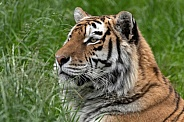 Amur Tiger In The Grass Side Profile