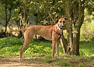Short Coated Lurcher