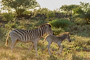 Mother and baby Burchell's Zebra