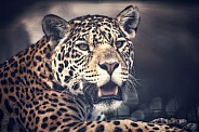 Watching Jaguar