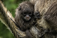 Baby Brown Spider Monkey