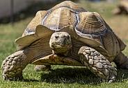 Very large desert tortoise on the grass