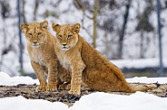 Pair of Juvenile Lions