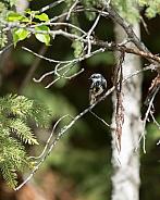 Male Yellow-rumped Warbler in Alaska