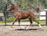 Arabian horse foal trotting
