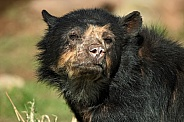 Andean/Spectacled Bear Face Shot