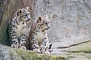 Young Snow Leopards