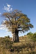 African Baobab Tree - Botswana
