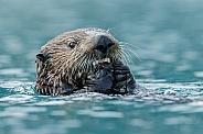Sea Otter eating