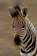Portrait of a Zebra Foal