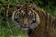 Sumatran Tiger Looking Back Over Shoulder