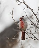 Male Desert Cardinal