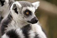 Ring tailed lima
