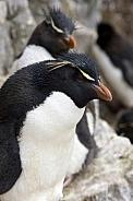 Rockhopper Penguin - Falkland Islands