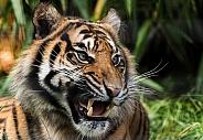 Sumatran Tiger Snarling