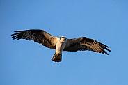 Osprey against a blue sky