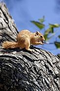 African Tree Squirrel - Okavango Delta