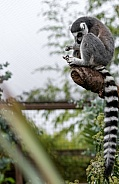 Ring Tailed Lemur Full Body And Tail