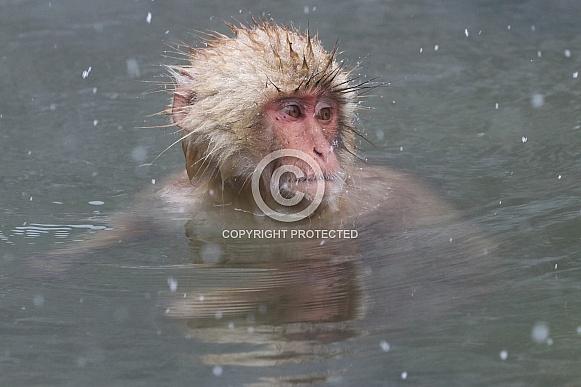 Snow monkey in hot spring