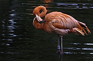 Caribbean Flamingo In The Water Full Body