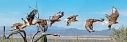 Ferruginous Hawk Flying Sequence