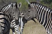 Zebra  - (Equus quagga) - Botswana