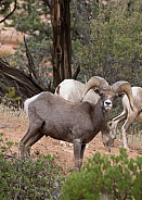 Ovis canadensis nelsoni, desert big horned sheep