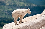 Wild mountain goat kid