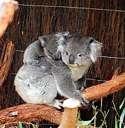 Koala and Joey on back