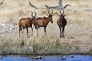 Red Hartebeest - Etosha National Park in Namibia