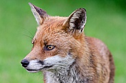 Close up Red Fox