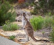 Curious Grey Kangaroo in the bushes