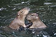 Capybara (Hydrochoerus hydrochaeris