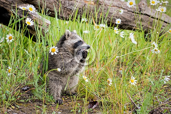 Raccoon Baby - 2 Months Old