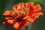 Closeup of an Orange Zinnia flower