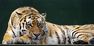 Siberian Tiger male
