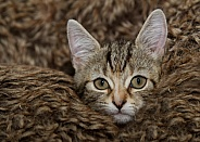 Tabby Kitten in Blanket