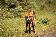 Red fox in the dunes on a summer evening