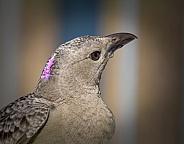 Male Great Bowerbird Closeup of Head in Profile
