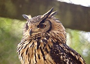 Indian Eagle Owl