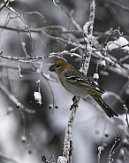Female Pine Grosbeak Eating Chokecherries