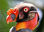 The king vulture