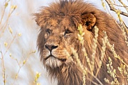 Male African Lion Side Profile