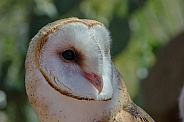 Portrait of a Female Barn Owl