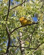 Male Yellow Warbler in Alaska