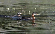 Red-necked Grebe Swimming with Chick in Alaska