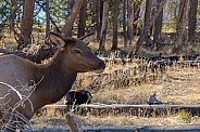 Elk Cow in the Woods of Yellowstone Lake