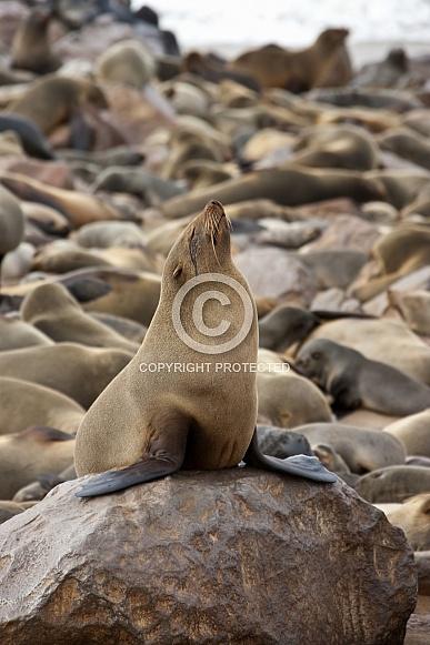 Cape Fur Seal - Skeleton Coast - Namibia