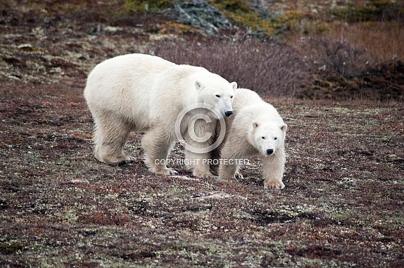 Wild Polar Bear with cub