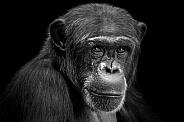 Chimpanzee Close Up Face Shot Black and White Black Background